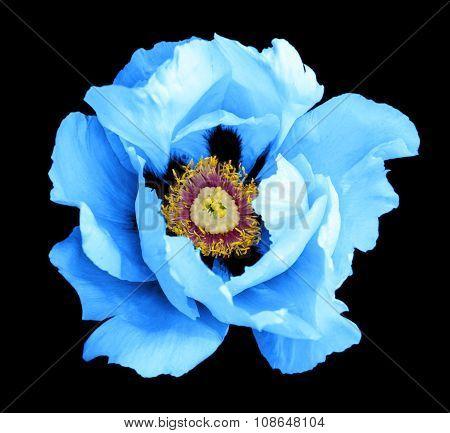 Blue Peony Flower Macro Photography Isolated On Black