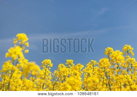 Flowering Background - Yellow Rapeseed And Blue Sky