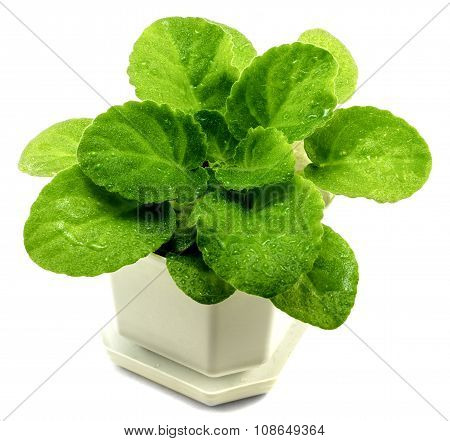 Decorative Violets Bush In White Flowerpot Isolated On White