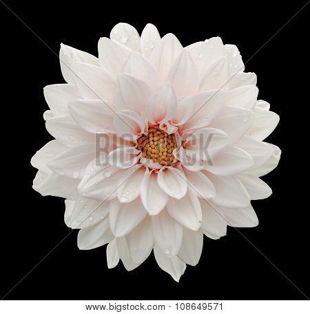 White Flower Dahlia Macro Isolated On Black