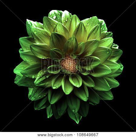 Surreal Dark Chrome Green Flower Dahlia Macro Isolated On Black