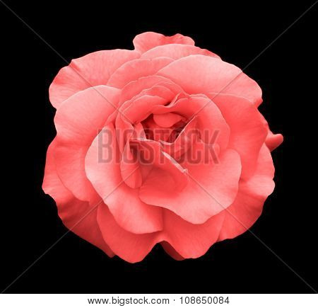 Acid Rose Rose Flower Macro Isolated On Black