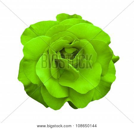 Acid Green Rose Flower Macro Isolated On White