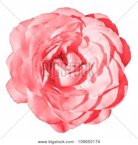 Acid Pink Rose Flower Macro Isolated On White