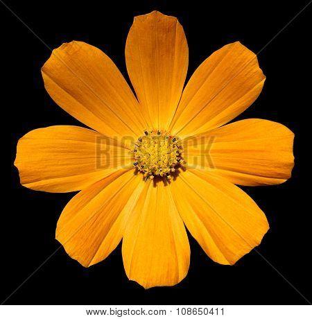 Golden Orange Flower Primula Isolated On Black