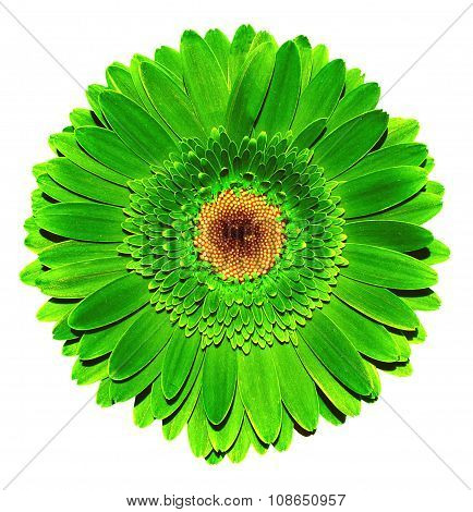 Surreal Dark Chrome Acid Green Gerbera Flower Macro Isolated On White