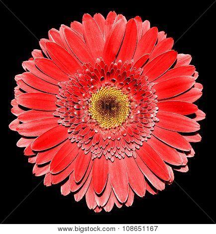 Surreal Dark Chrome Red Gerbera Flower Macro Isolated On Black