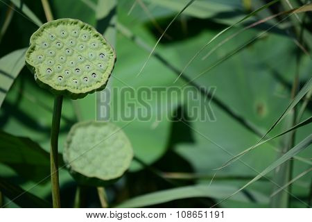 Maturing lotus pod with seeds