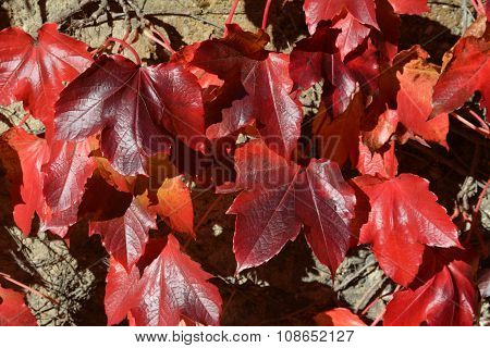 A group of fall red leaves on rock wall