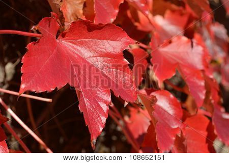 One red leaf on background of leaves