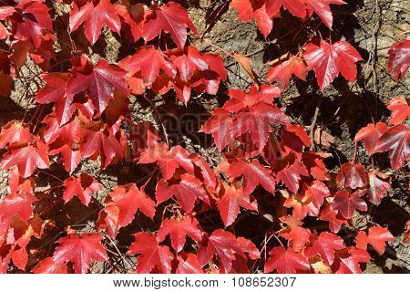 A group of red leaves on rock wall