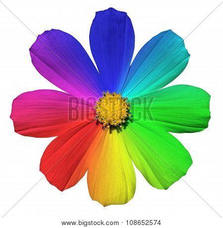 Rainbow Primula Flower Macro Isolated On White