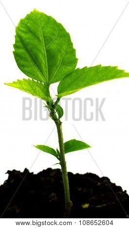 Sprout Of Green Young Plant In The Ground Isolated On White Filtered
