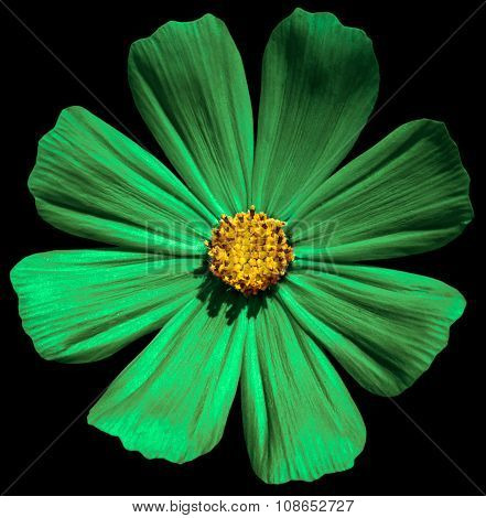 Green Flower Primula Isolated On Black