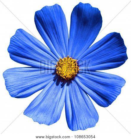 Blue Flower Primula Isolated On White