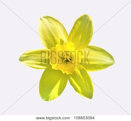 Yellow Flower Day Lilies Hemerocallis Macro Isolated On White