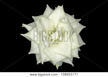 White Rose Macro Isolated Black Background