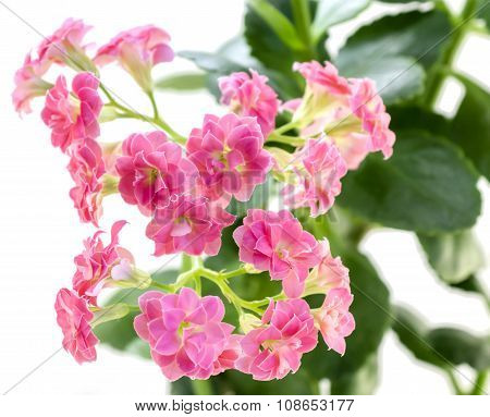 Pink Flowers Of Kalanchoe Plant With Green Leaves Isolated On White