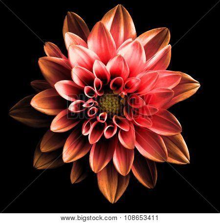 Surreal Dark Chrome Red And Orange Flower Dahlia Macro Isolated On Black