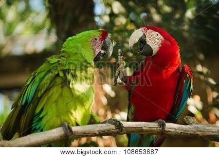 green and red winged macaws sitting on branch