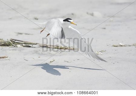 Federally Endangered Least Tern