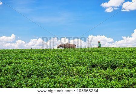 Farmers plowed broad plateau with buffalo