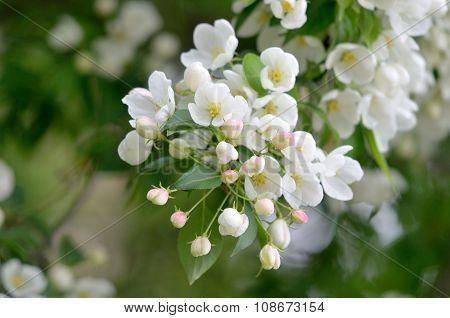 Branch of apple flowers.
