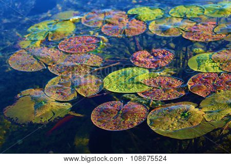 Colorful Lily Pads