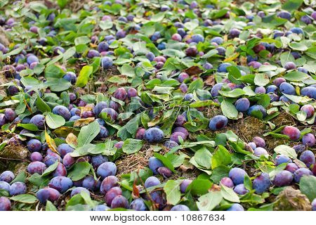Plums Shaken Down At Harvest