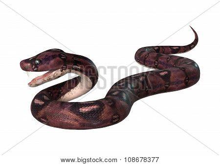 Courious Anaconda On White