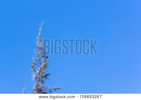 Cedar Pine Tree Crest