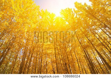 Fall Aspen Trees with golden sunlight, Leh District in the state of Jammu and Kashmir, India.