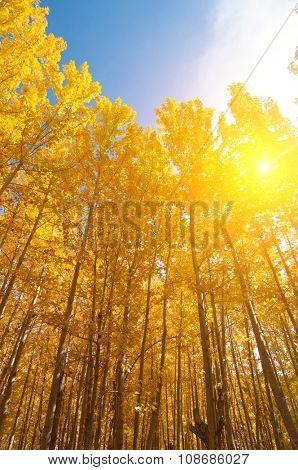 Fall Aspen Trees with filtered sunlight , Leh District in the state of Jammu and Kashmir, India.