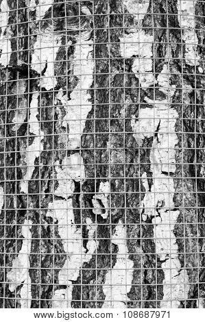 Safety Net On Birch Bark Against Rodents Texture Black And White