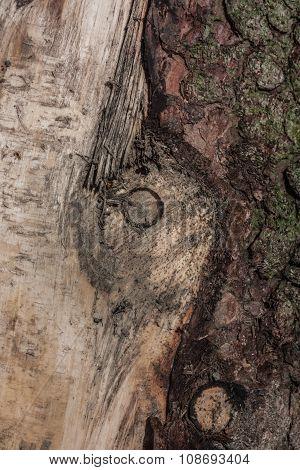 Truncated Fragment Spruce.
