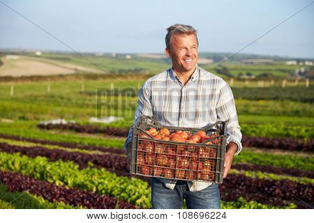 Farmer With Organic Tomato Crop On Farm