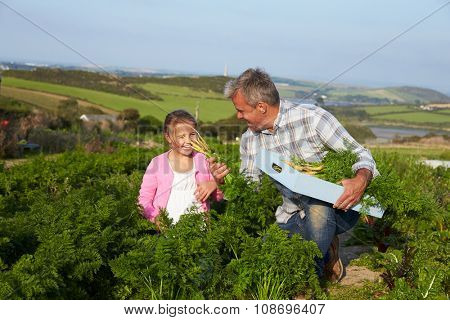 Farmer With Daughter Harvesting Organic Carrot Crop On Farm