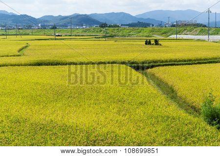 Paddy jasmine rice farm