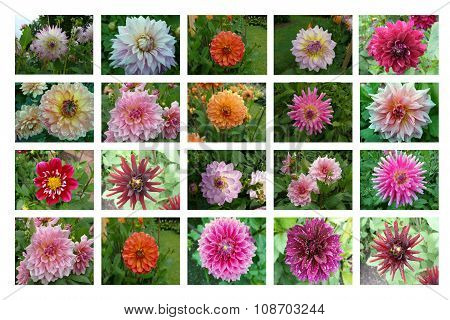 Typology of dahlia blossoms