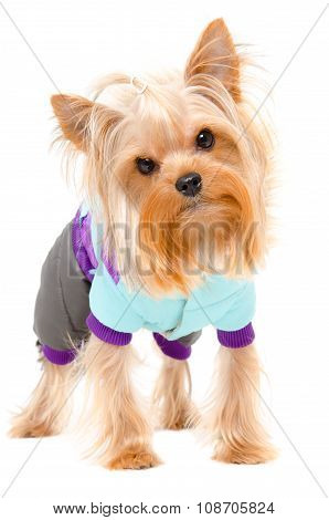 Portrait of a Yorkshire terrier in a warm suit