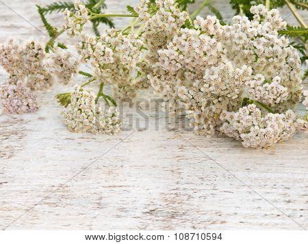 Achillea Millefolium Flowers Heap