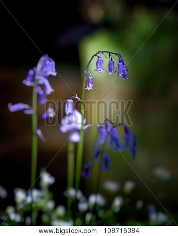 British Bluebells