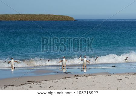 Gentoo Penguins Coming Ashore