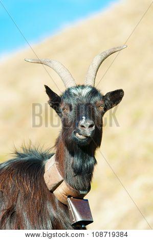 Goat Ruminant