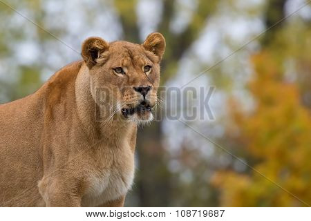 Lioness in the wild, a portrait