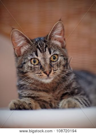 Portrait Of A Kitten Of A Striped Color