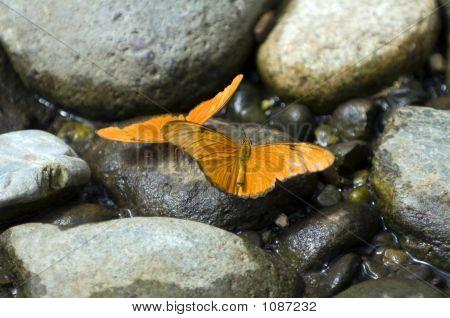 Julia Butterflies