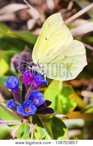 Daily Limonite butterfly (Gonepteryx)