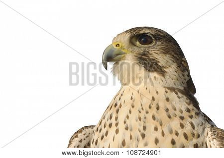 close-up of a Gryfalcon isolated on white