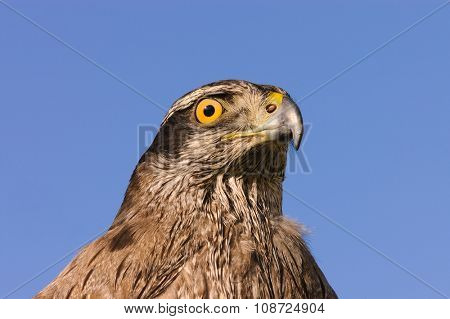 Close up of a Goshawk against a blue sky